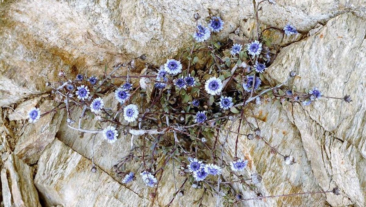 Τα άνθη της καρδιάς του βράχου