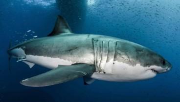 Μυστικά κατα του καρκίνου στο DNA του μεγάλου λευκού καρχαρία