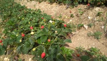 Φράουλες χωρίς φυτοφάρμακα από τον Βερτίσκο (φωτογραφίες)